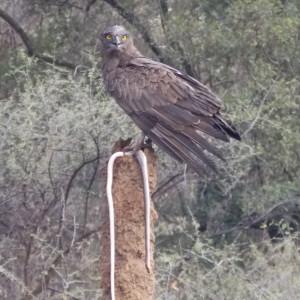 The snake eagle on the hunt