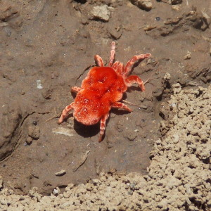 The red velvet mite: Don't let the fuzzyness of this arachnid fool you! It might just give you the cutesies