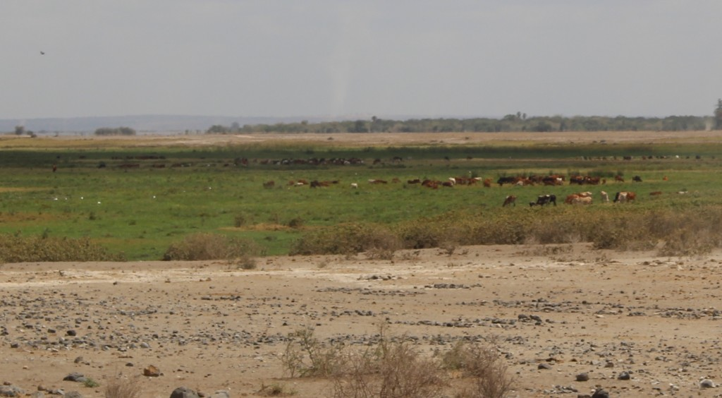 Cattle in Enong Narok swamp, Amboseli area, September 2015. Photo by Anna Shoemaker.